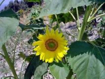 Ayçiçeği [Fotoğraf : Saadet Erciyas]